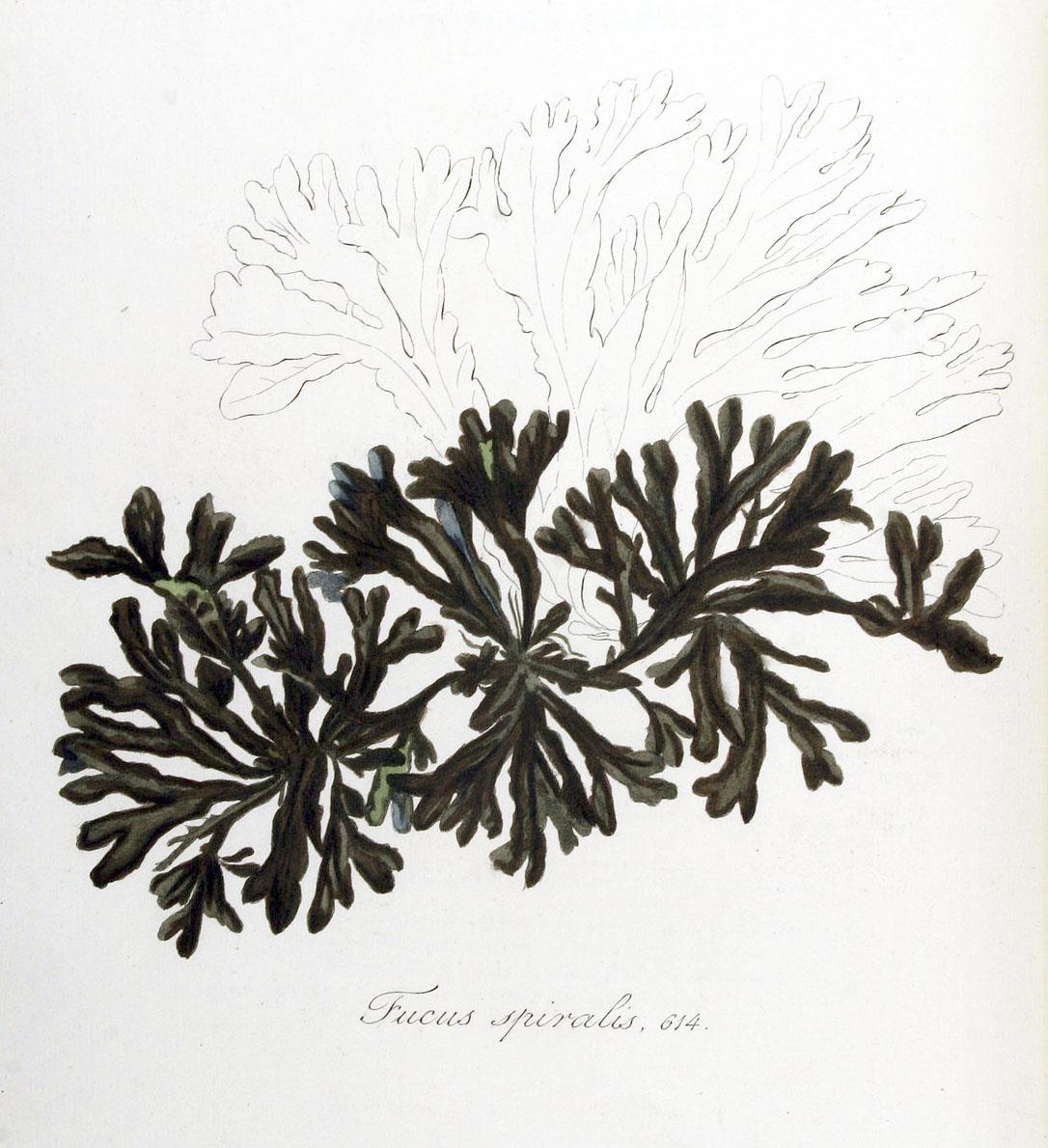 Drawing of seaweed by Janus Kops (1844).