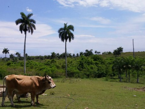 Oxen and Cuban farmland - photo by Rebekah Percy